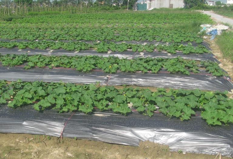 Một số biện pháp sản xuất rau màu vụ hè, hè thu năm 2016